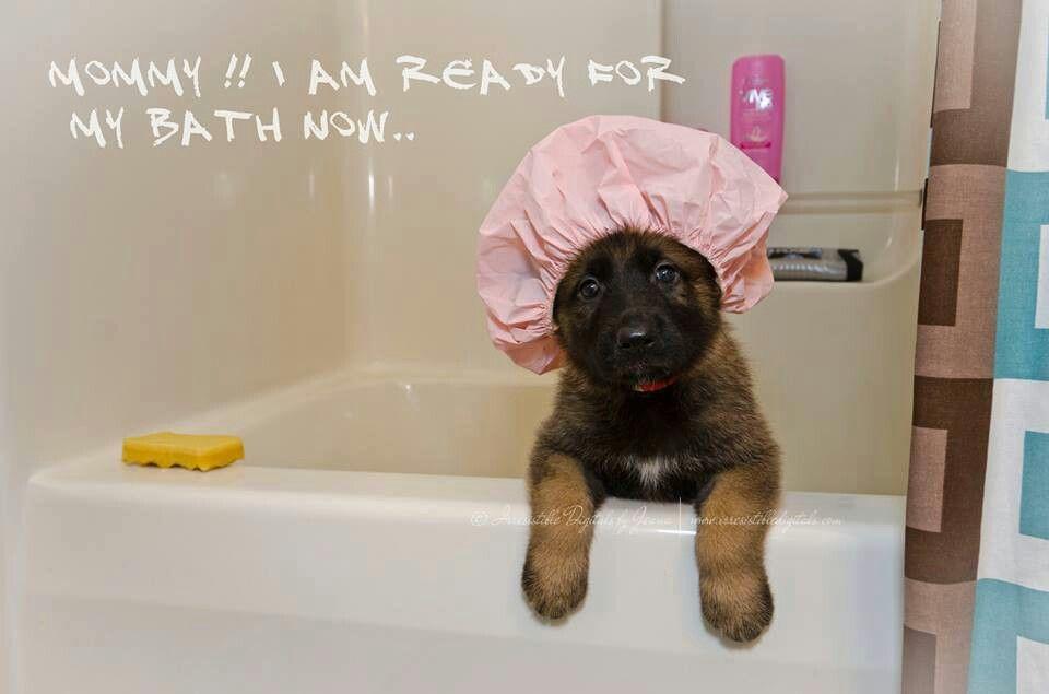 Absolutely Ready Gsd Pup Bathing A Puppy German Shepherd