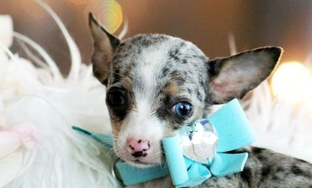 Colby The Chihuahua Puppy For Sale Chihuahua Dog Puppy Pet