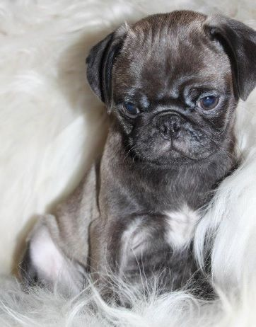 Pug Would Love To Get One Its So Adorable Itsnaturallydes