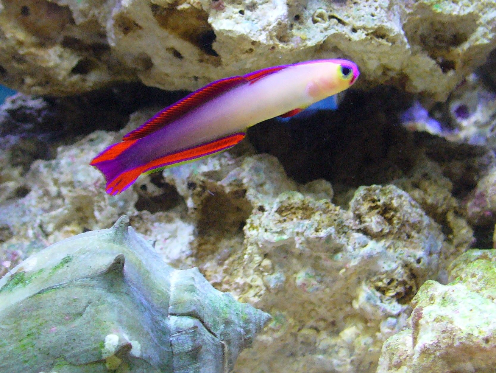 Purple Firefish Thinking About Getting One For My Tank Salt Water Fish Saltwater Fish Tanks Saltwater