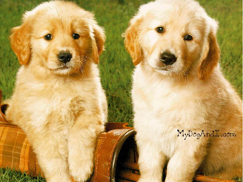 Cute Puppies Wallpaper Cute Puppy Cute Puppies Cute Puppy Wallpaper Cute Puppies Images