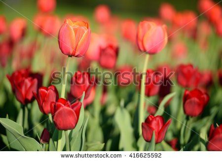 Close up flowers background. Amazing view of colorful red tulips flowering in the garden with green petals landscape at sunny summer or spring day.