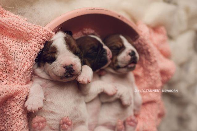 Newborn Puppy Photography Jessica Tanner Photography Atlanta Ga