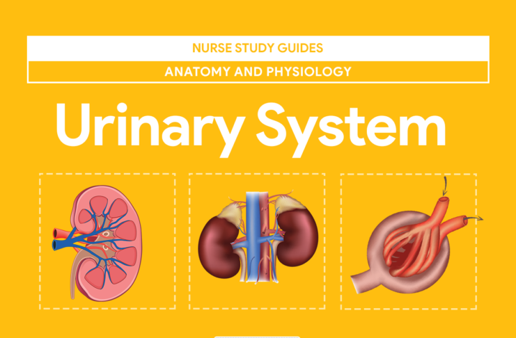Urinary System Anatomy and Physiology   Nursing material   Pinterest ...