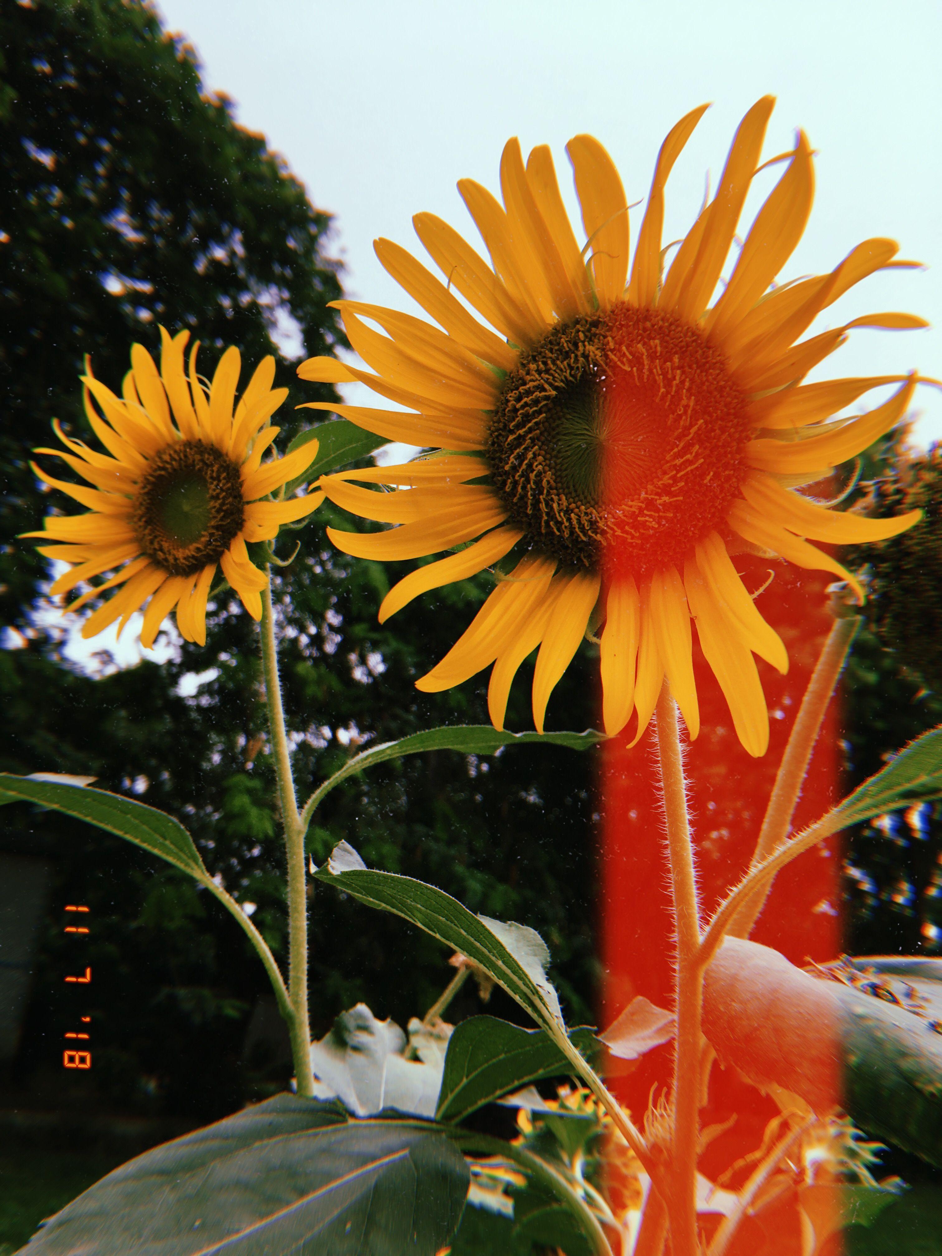 Huji Cam Photo Tumblr Flower Floral Photography Sunflower Wallpaper