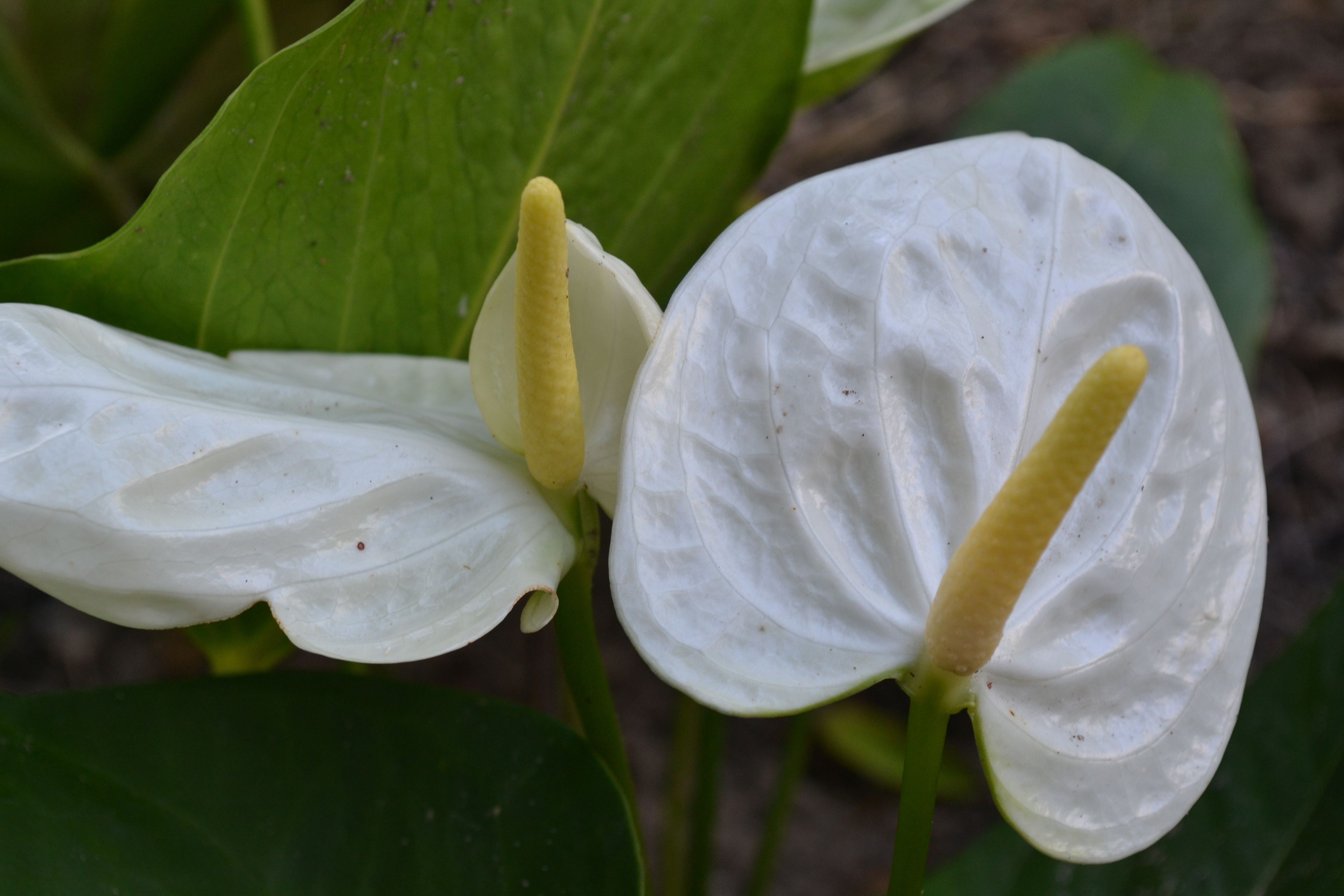 White Tropical Flower Tropical Gardens Pinterest Tropical