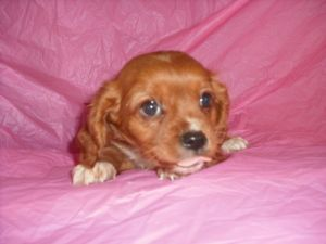 Kate is an adoptable Cavalier King Charles Spaniel Dog in Mansfield, OH. Ladybugs K9 Rescue would like to thank you for choosing to opt to adopt. Please be aware that the puppies posted on our website...