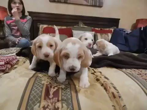 Beagle Puppies For Sale Hull 39 S Ozark 39 S Beagles