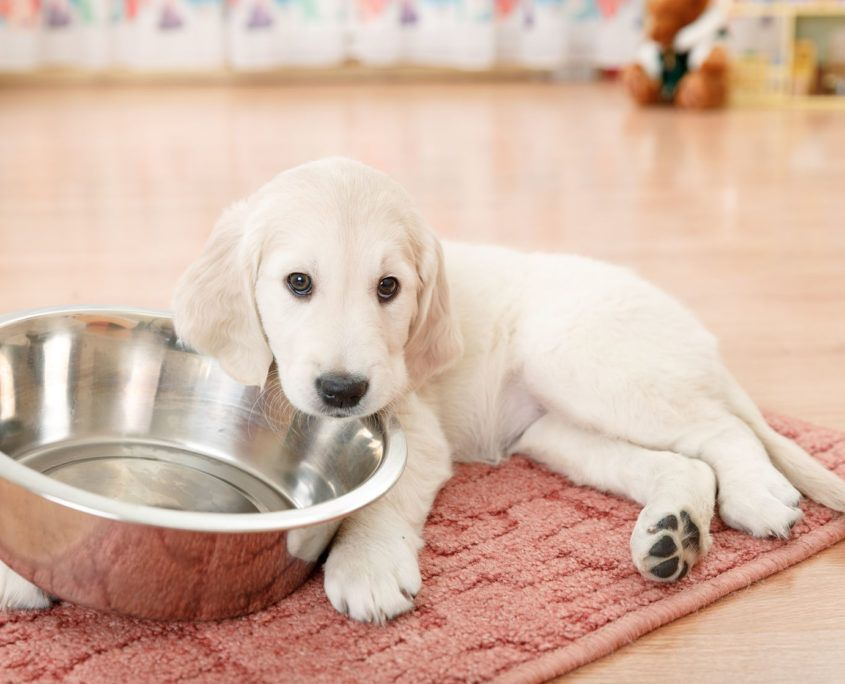 Golden Retriever Puppy Lying Down Near Empty Feeding Bowl Best