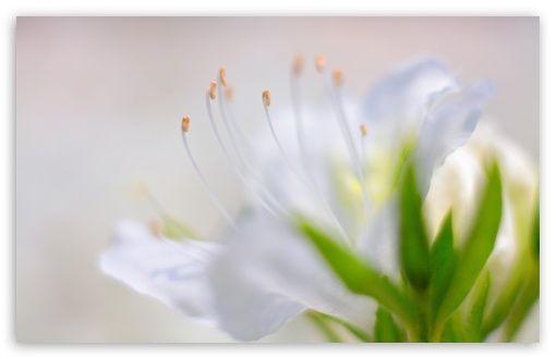 White Azalea Flower wallpaper