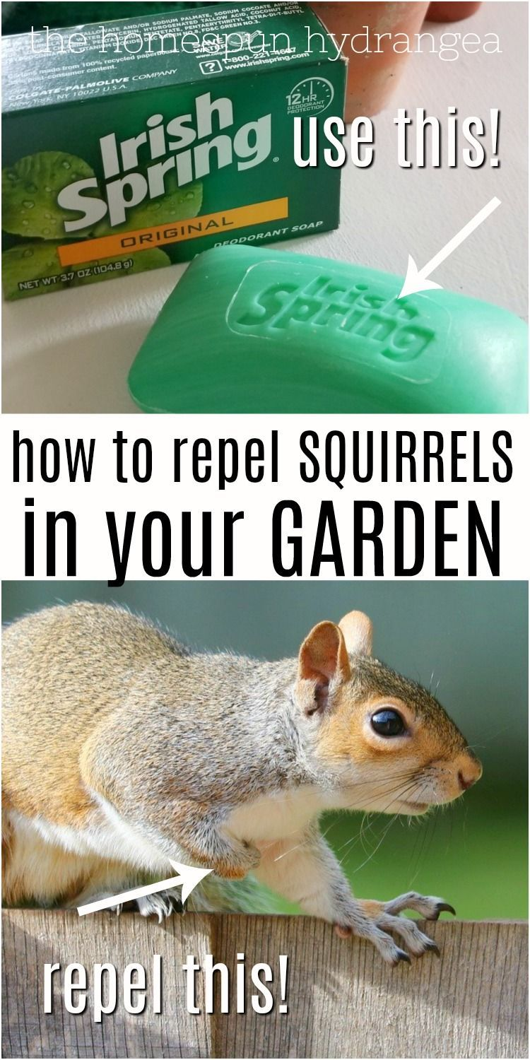 Squirrels Can Ruin A Garden Fast See How To Repel Squirrels And Keep Them Away From Your Seeds Bulbs And Plants In 2020 Garden Pests Irish Spring Irish Spring Soap