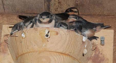 Barn Swallow nest cup location | Barn swallow, Nest, Swallow