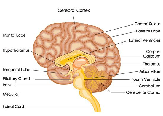 Awesome Information About the Location and Functions of the Amygdala ...
