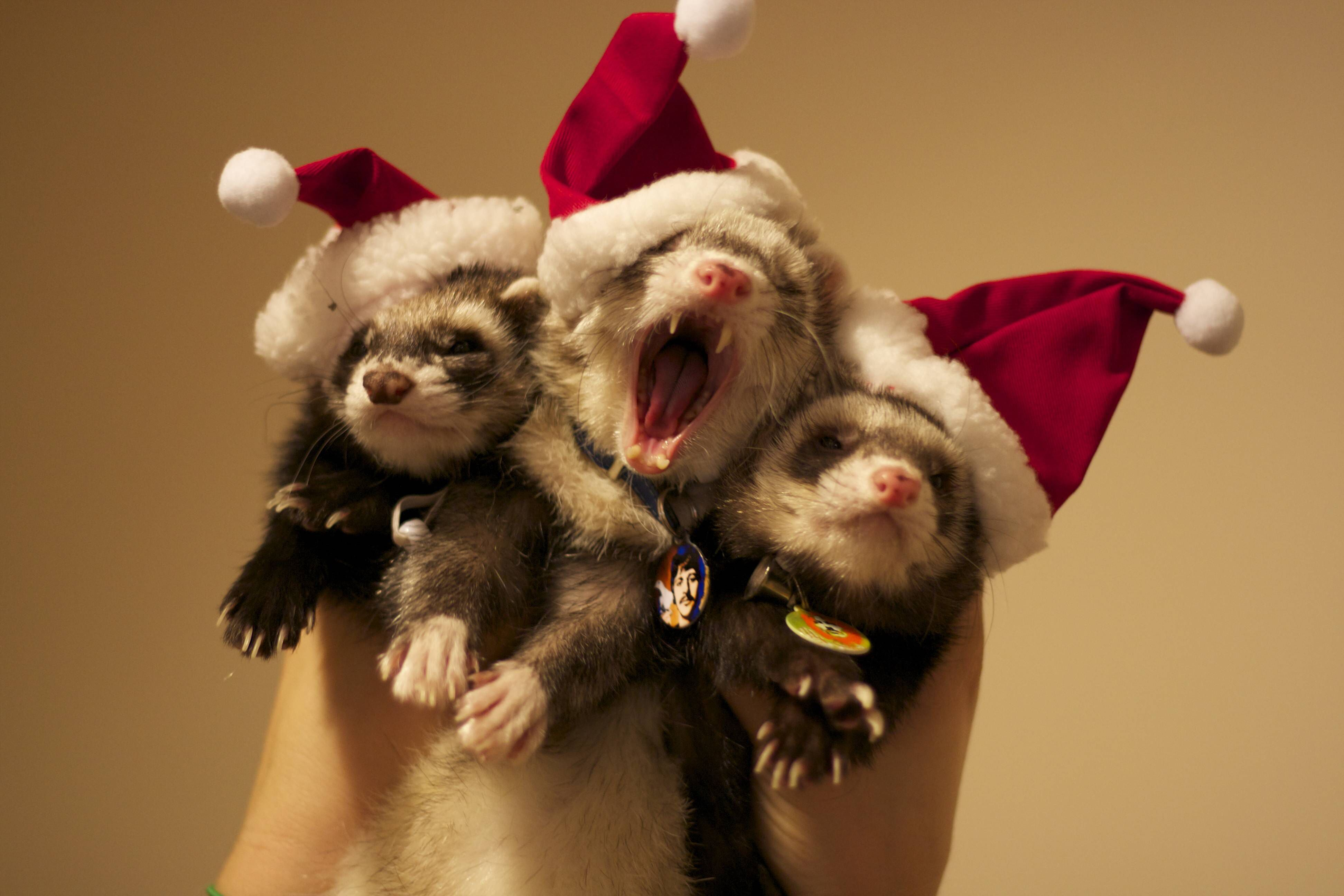 Christmas Ferret.Christmas Ferrets Ferrets And Ferretisms And Their Cousins