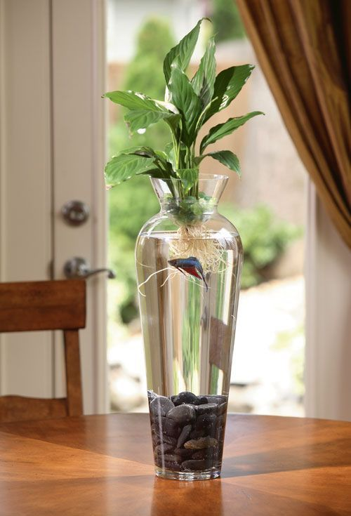 Wonderful living arrangement with beta fish water for Plant with fish in vase