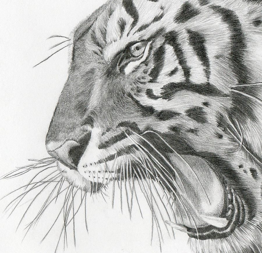 Awesome tiger drawing
