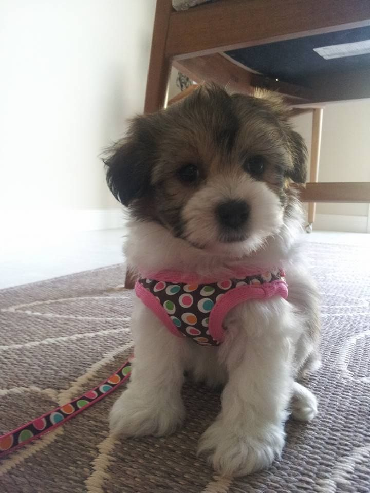 This Is Ceilidh She Is An 8 Week Old Teddy Bear Morkie Old