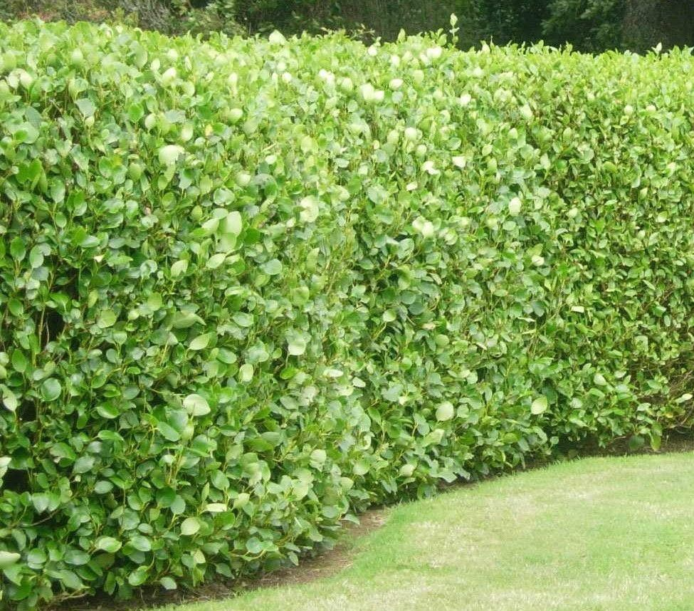 Lawn Hedges: Euonymus Japonicus Large Leaf Hedge