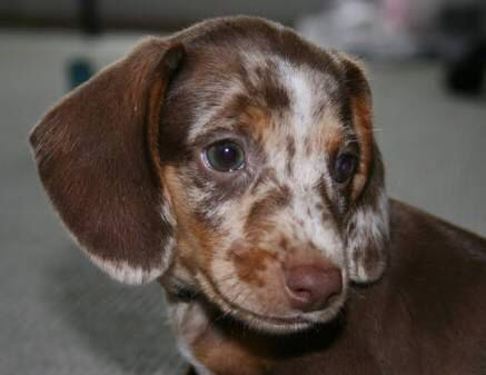 Pin By Stacey Kent On Dapple Dachshund Puppies Cute Little