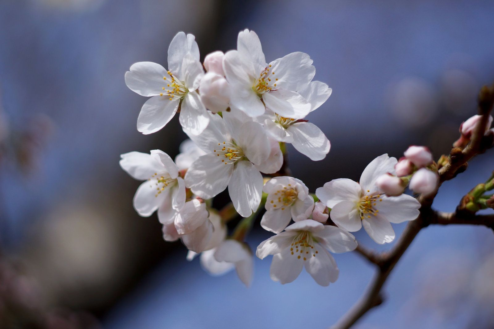 Somei Yoshino Cherry Blossom Cherry Blossom Wallpaper Cherry Blossom Season Cherry Blossom Background