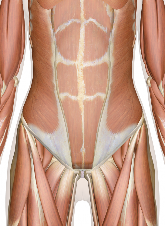 Muscles Of The Lower Back Abdomen And Pelvis Health Muscles