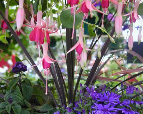 Tender Fuchsias  // Great Gardens & Ideas //