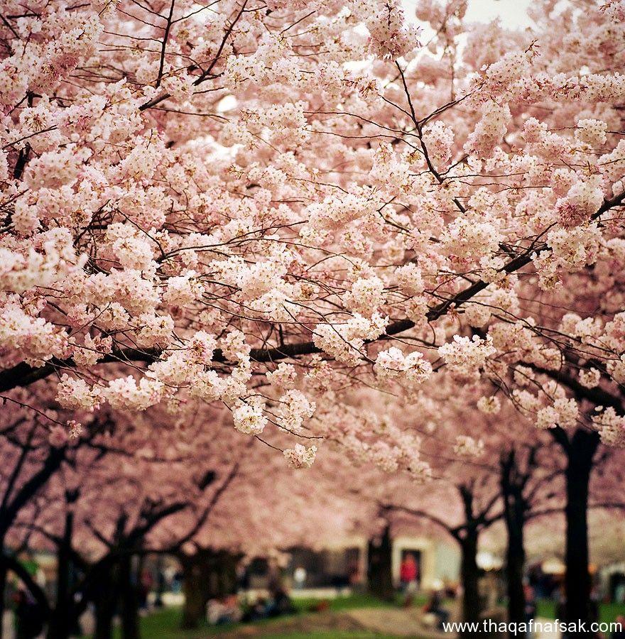صور الطبيعة الخلابة بمناسبة دخول فصل الربيع Pink Trees Blossom Trees Cherry Blossom