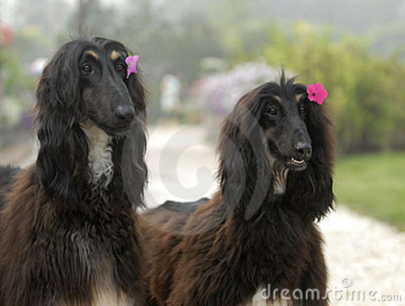Price Afghan Hound Puppies Royalty Free Stock Photos Dogs Pets
