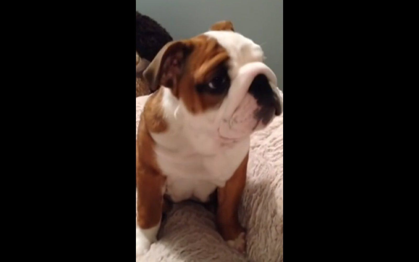 Bulldog Puppy Loves His New Bed More Than You Have Loved Anything