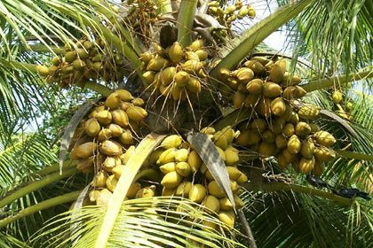 Free Desktop Background Wallpapers Only Coconut Tree