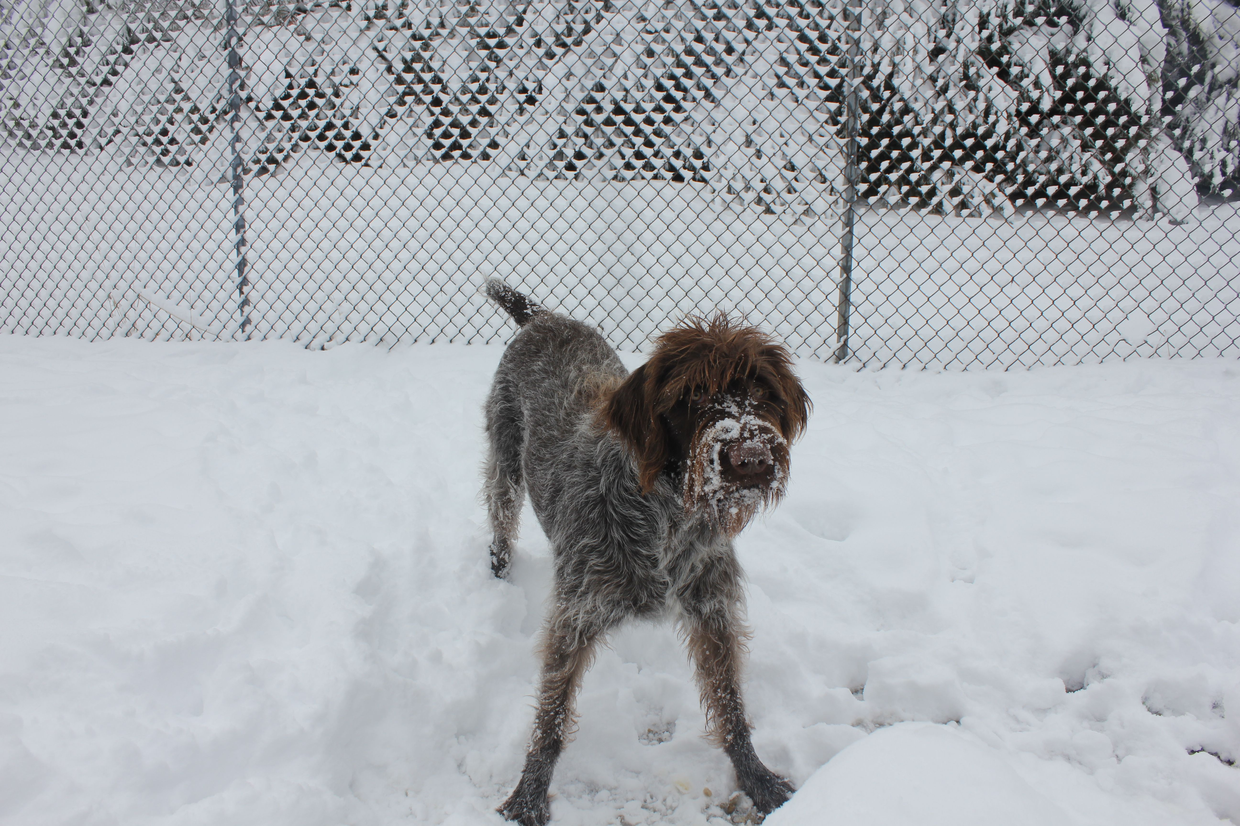 Pete lovin\' the snow!   Griffons   Pinterest   Wirehaired pointing ...