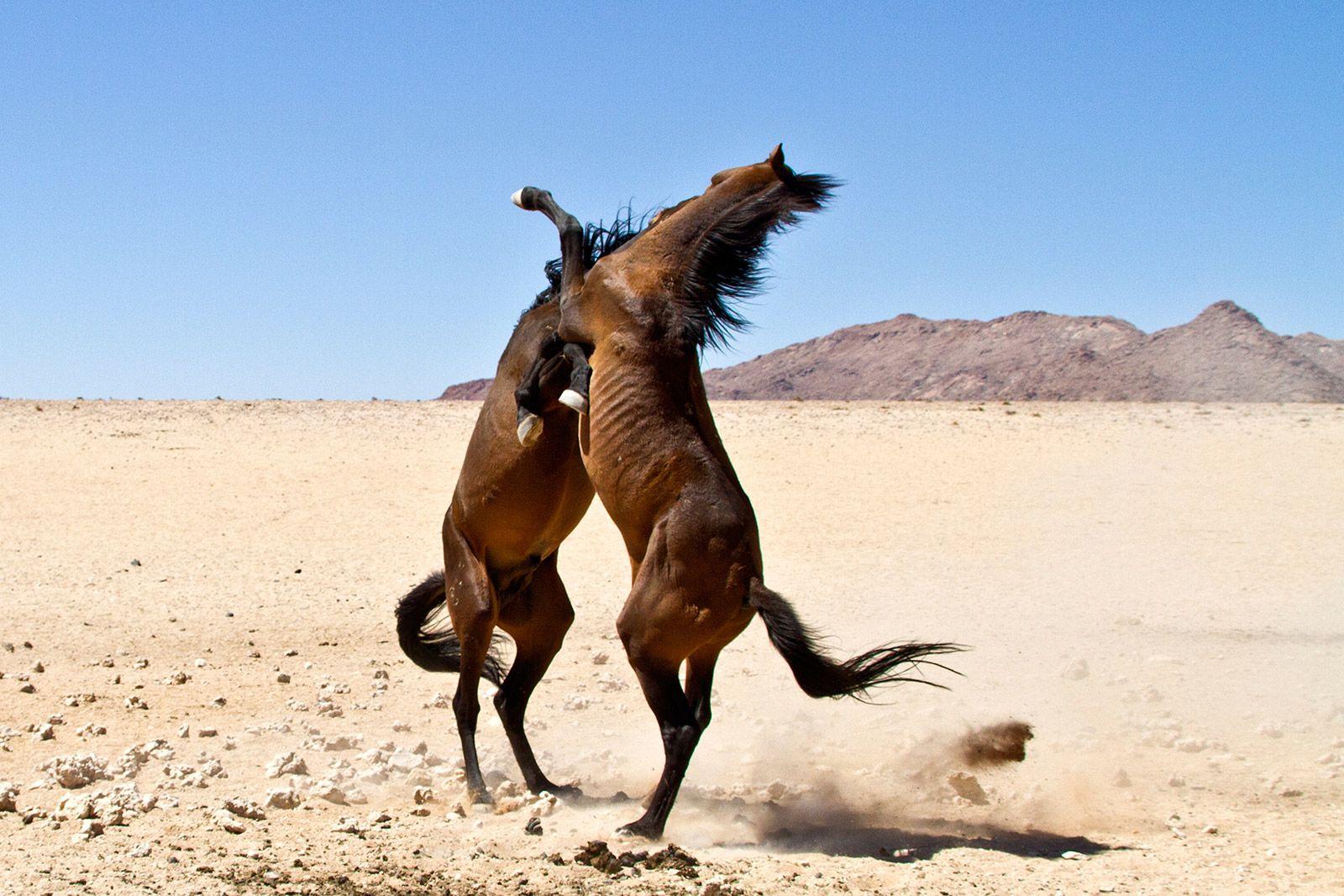Wild Horses of the Namib Africa Geographic Magazine