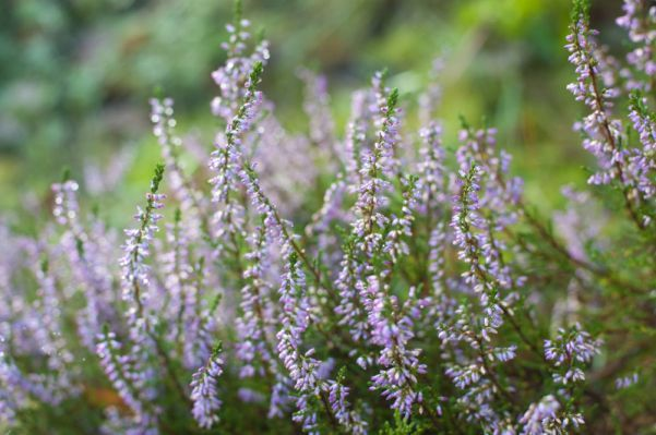 Heather Flower Meaning Flower Gardening That I Love