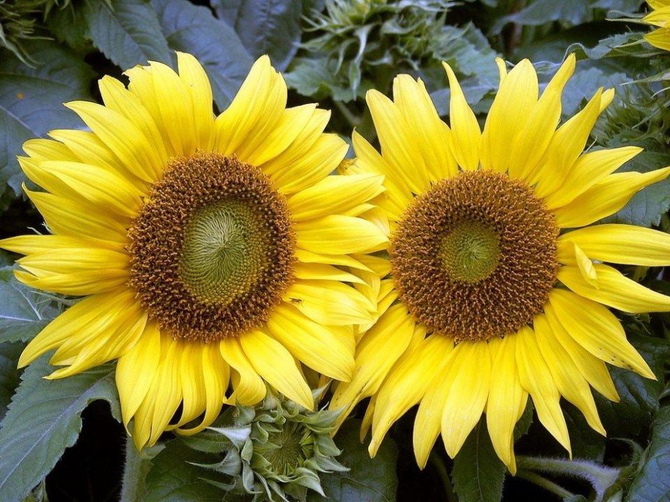 Pin By Flowernifty Com On Flower Nifty In 2019 Sunflower Flower Growing Sunflowers Planting Sunflowers
