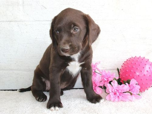 Choc Lab Springer Spaniel Mix Cute Animals Cute Dogs Dog Trainer