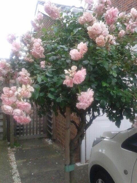 Birthday Rose on driveway