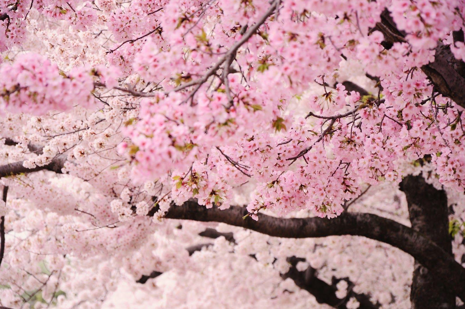 Cherry Blossoms Via Roost Blog Cherry Blossom Girl Cherry Blossom Love Flowers