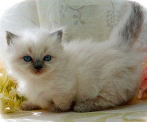 Napoleon Kittens For Sale Persian Kittens Saint Louis Munchkin Kittens Munchkin Kitten Munchkin Cat Kittens Cutest