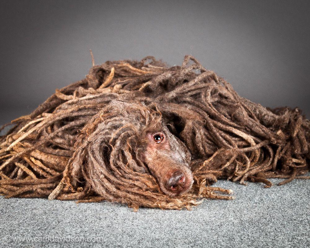 A Komondor dog, which naturally grows dreads. Carli