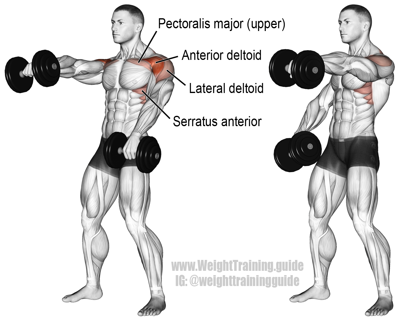 Alternating dumbbell front raise. Main muscles worked: Anterior ...