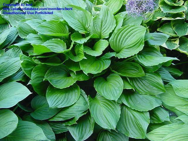 Royal Standard Hosta At Daves Garden All Pictures Are