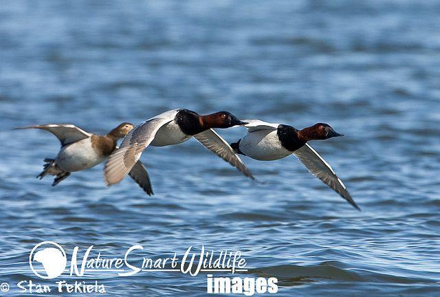 Canvasback Duck Aythya Valisineria Duck Decoys Duck Hunting Duck