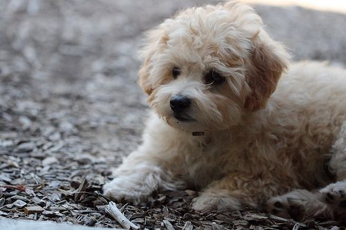 Pin By Rios Fernandez On Animals Maltipoo Dog Maltese Poodle Puppies