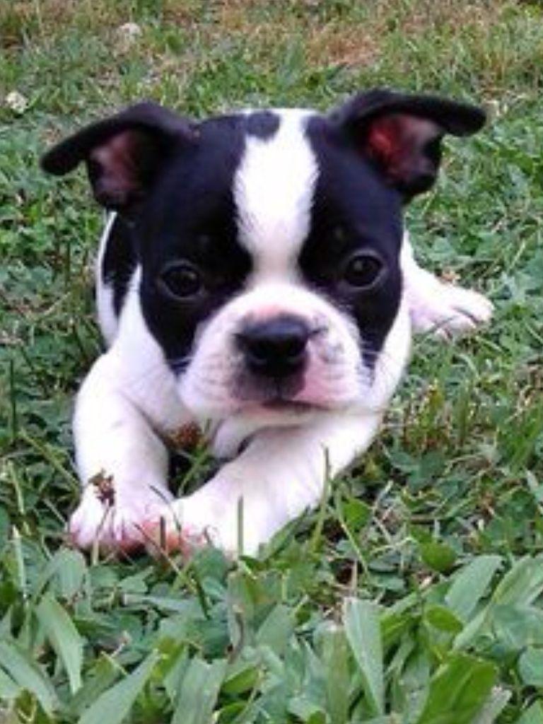 Lexi The French Bulldog Puppy Boston Terrier Boston Terrier