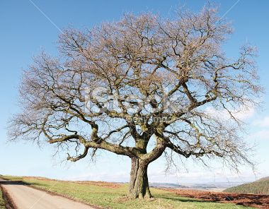 Single Old Bare Oak Tree On Field Steel Cables Supporting Large
