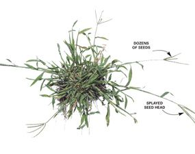 How To Get Rid Of Crabgrass Crab Grass Crab Grass Lawn Lawn