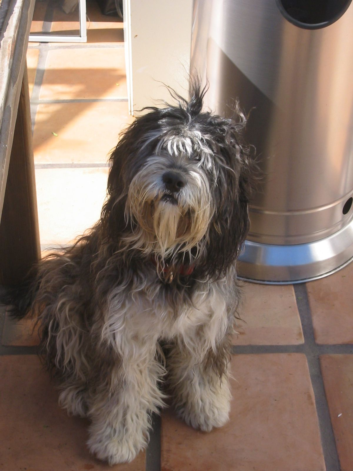 Pin on Tibetan Terrier Love