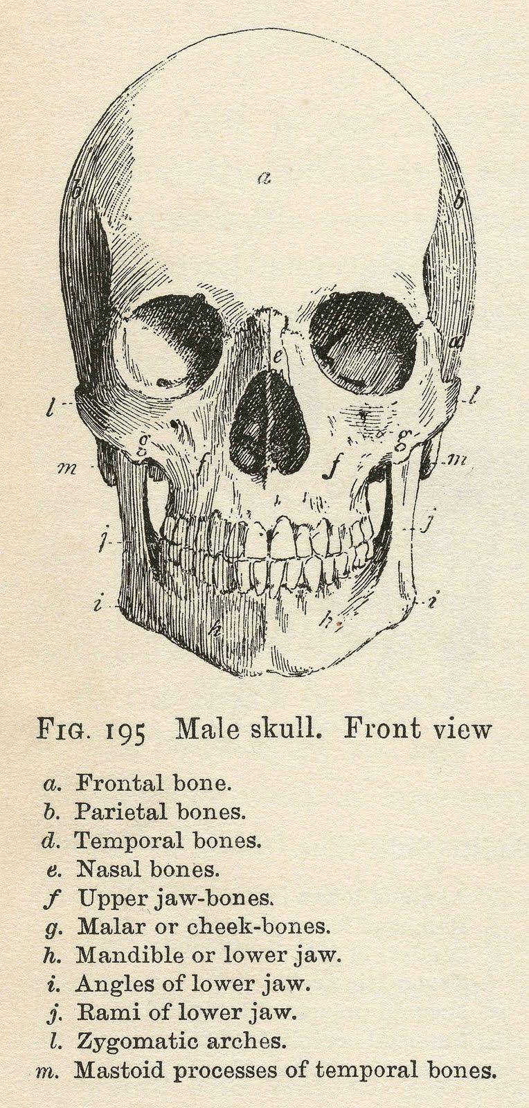 vintage anatomy clip art bones skull halloween the graphics fairy [ 764 x 1600 Pixel ]
