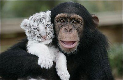 Two white tiger cubs have a surrogate mom, a chimpanzee...awww, how cute!