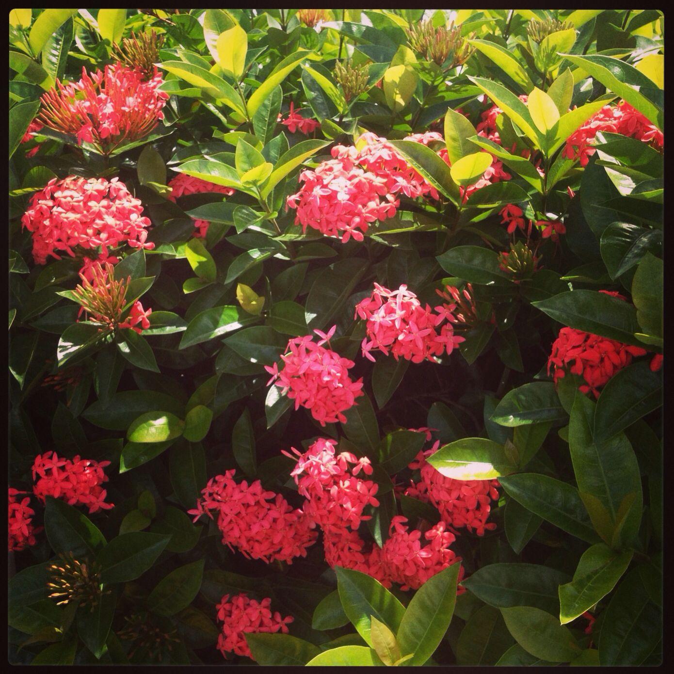 Flor Cruz de Malta
